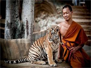 tigre-et-bouddhiste