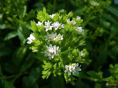 stevia-rebaudania-visoflora-42811