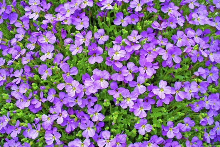 connaissez vous les vertus des fleurs de violette la. Black Bedroom Furniture Sets. Home Design Ideas