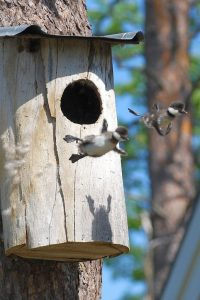 baby-common-goldeneye-ducks-leaving-nest-flying-for-first-time-682x1024